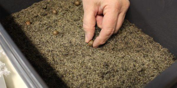 Planting tea seeds